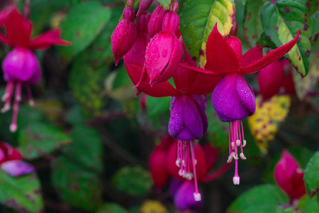 beautiful flower fuchsia in garden