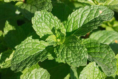 Green Mint leaves in garden