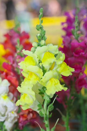 snapdragon: Colorful snapdragon flower Blooming in the garden Stock Photo
