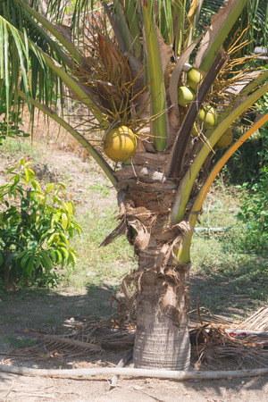 Coconut on the tree from Thailand garden