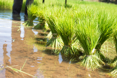 Rice tree in the paddy  fields