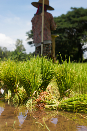 Farmers are growing rice tree in the paddy  fields