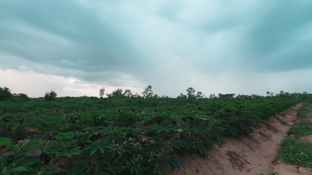 stormy and cloud is moving tapioca tree in farm, landscape