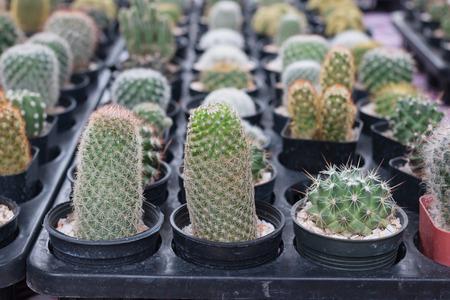 Beautiful Green Cactus in a pot