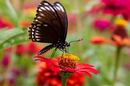 Beautiful butterfly Sucking nectar from pollen In the flower garden 版權商用圖片