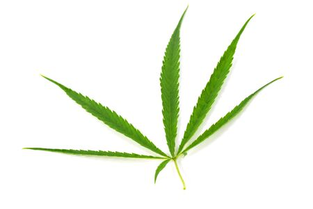 Green marijuana leaves is herbs for cancer treatment isolated over white background Banco de Imagens