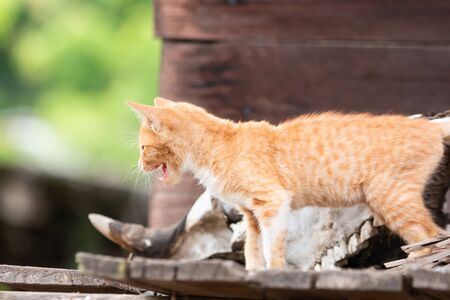 Golden kitten Looking for victim On a wooden house