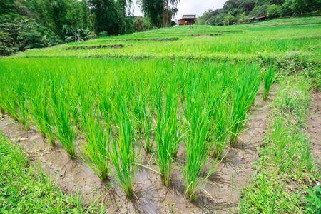 green rice tree is growing In rice fields