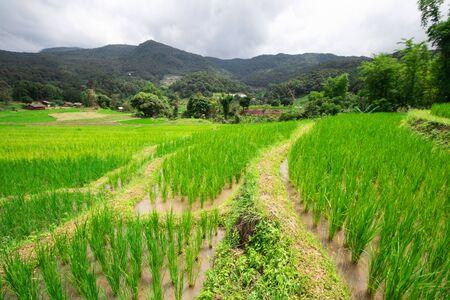 The green rice tree is growing In rice fields Banco de Imagens