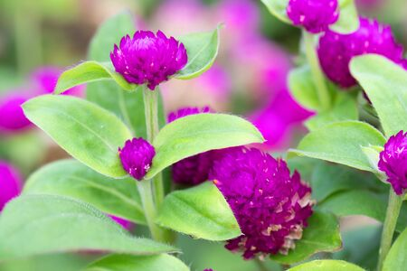 flower head of globe amaranth in the park In the morning