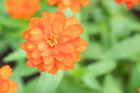 Chrysanthemum Flower are blooming in the park In the morning Banco de Imagens