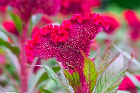Field of red Cockscomb or Crested celosia in the park In the morning Banco de Imagens