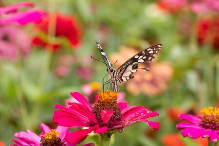 butterfly Sucking nectar from pollen In the flower garden Stock Photo