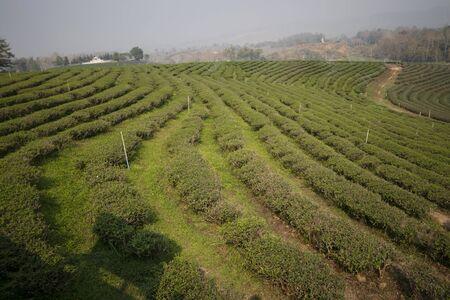Beautiful tea garden in Thailand Banco de Imagens