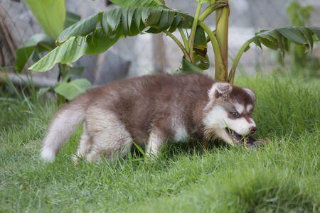 Cute Puppy of Siberian Husky dog