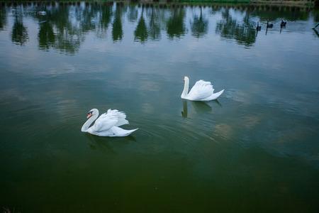 beautyful: beautyful white swan in pond