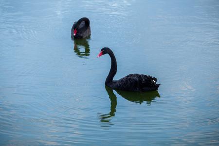 beautyful: beautyful black swan in pond Stock Photo