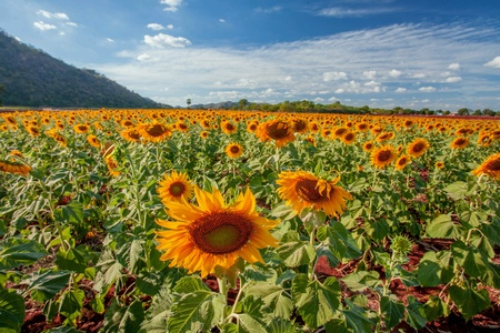 shiny: Sunflower in farm