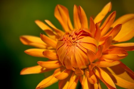diffused: An orange color flower against a green diffused background Stock Photo