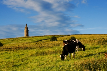calf cow: Cattle grazing at Hartshead a scenic place with great view of Manchester, England