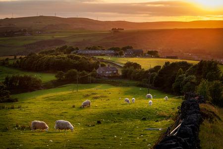 맨체스터의 외곽에 가까운 영국의 시골의 아름다운 풍경에서 방목하는 양.