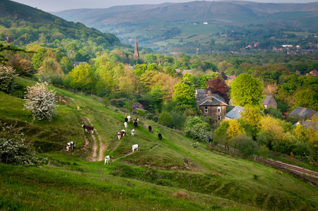 Yorkshire Dales: Cows and livestock returning to the fam at the end of evening. Aerial view of English village.