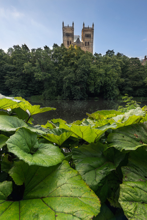 durham: Wild Orchid leaves grown on the bank of River Weir which is flowing through the city of Durham, England UK