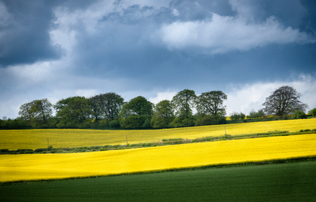 oxfordshire: Panorama of mustard plants flowering along the field. Mustard blossom in front and trees on the back.