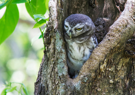 owlet: spotted owlet in a tree