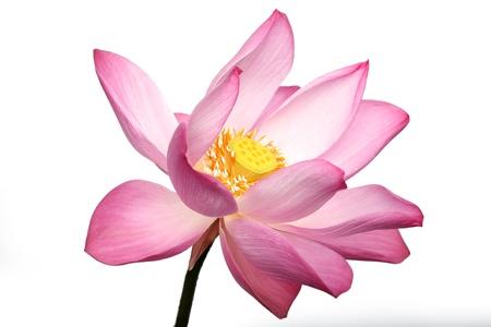 Nahaufnahme Von Lotusblüte. Lizenzfreie Fotos, Bilder Und Stock ...