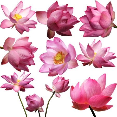 template of beautiful lotus flower isolated on white background