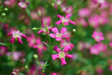 close up of gypsophila flower  photo