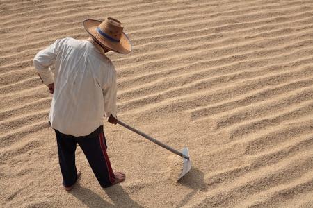 harrow: farmer using harrow on rice grain field
