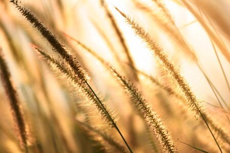 golden reed at sunset,shallow DOF  photo