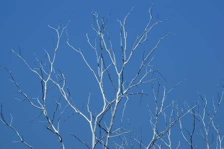 dry tree against blue sky  photo