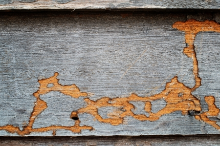 macro animals: termite track on wooden wall