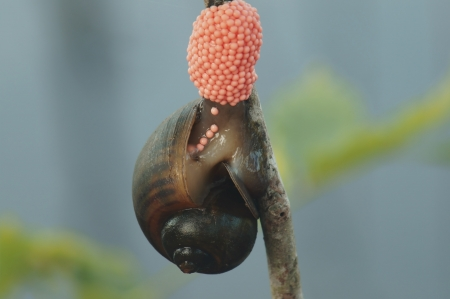apple snail: golden apple snail spawn egg at river  Stock Photo