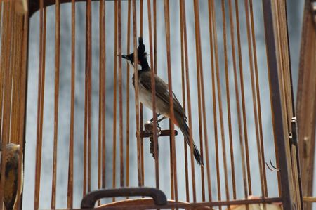 Red-whiskered Bulbul in the birdcage photo