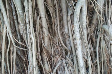 banyan: fondo root banyan