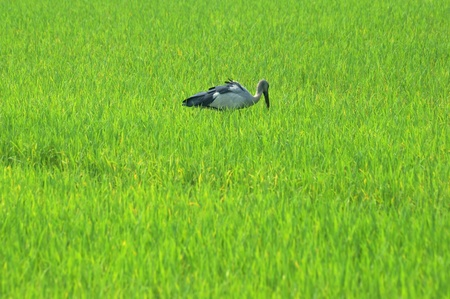 asian openbill in paddy field  photo