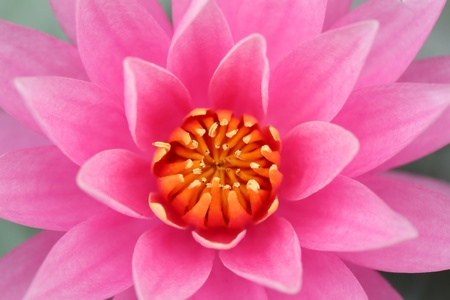 close uo: close uo of beautiful yellow-pink lotus flower Stock Photo