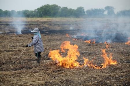 after harvest,farmer burning straw in rice plantation.
