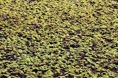 salvinia: Water lettuce (Pistia stratiotes Linn)