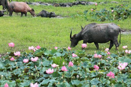 water buffalo eating grass near lotus pond  photo