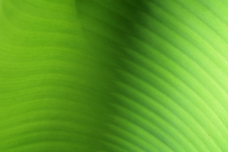 abstract banana leaf  photo