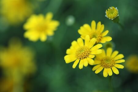 yellow daisey flower  photo