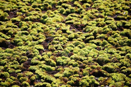 salvinia: Water lettuce  Pistia stratiotes Linn
