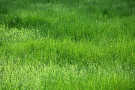 papyrus field photo