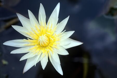 lotus flower blooming in pond  photo