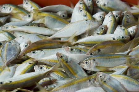 erythrophthalmus: yellow stripe travelly  Stock Photo